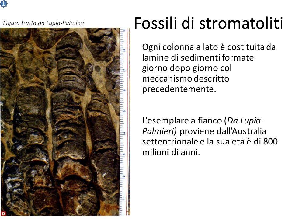 Fossili di stromatoliti Ogni colonna a lato è costituita da lamine di sedimenti formate giorno dopo giorno col meccanismo descritto precedentemente.