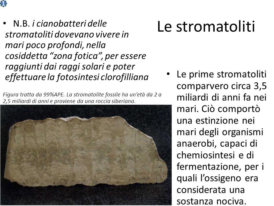 Fossili di stromatoliti Ogni colonna a lato è costituita da lamine di sedimenti formate giorno dopo giorno col meccanismo descritto precedentemente. L