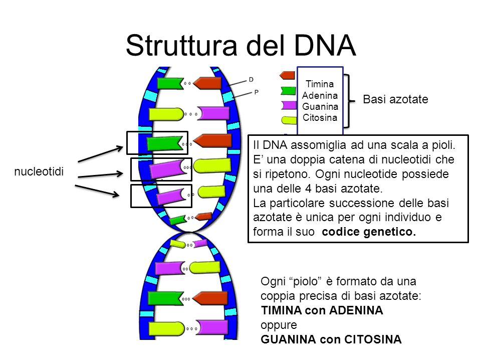 Struttura del DNA nucleotidi Basi azotate Timina Adenina Guanina Citosina Il DNA assomiglia ad una scala a pioli. E una doppia catena di nucleotidi ch