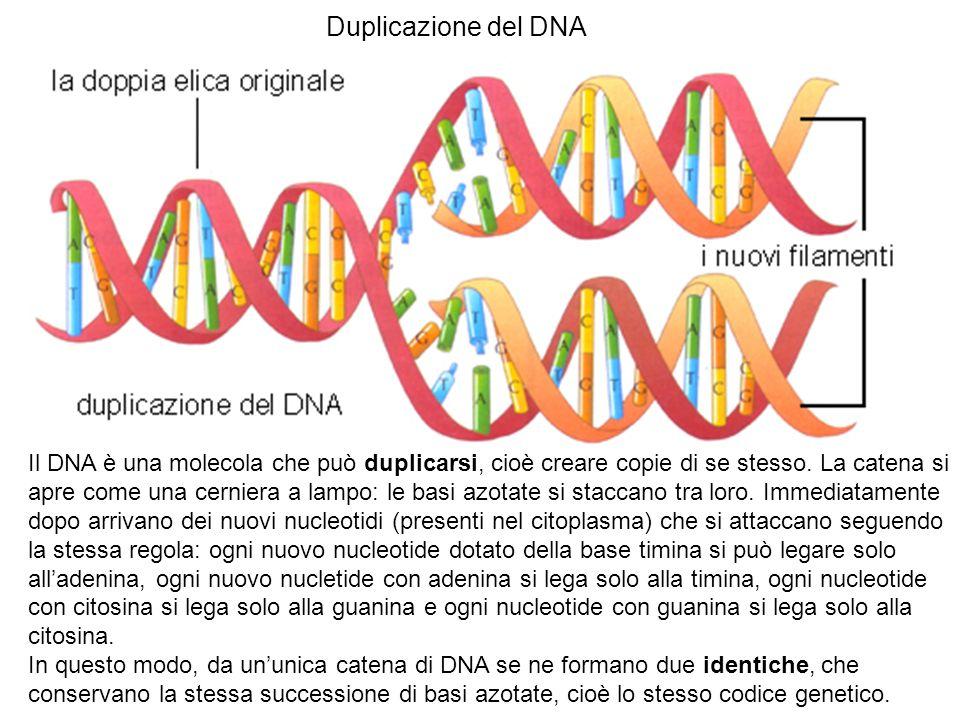 Duplicazione del DNA Il DNA è una molecola che può duplicarsi, cioè creare copie di se stesso. La catena si apre come una cerniera a lampo: le basi az