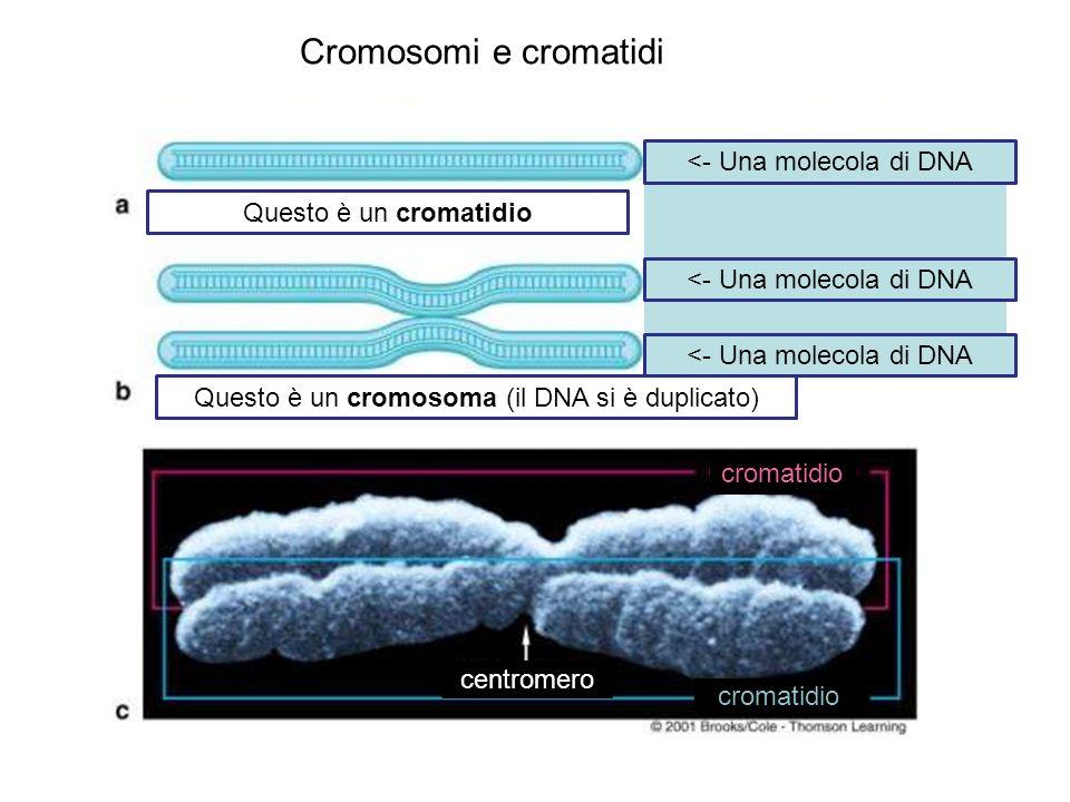 Cromosomi e cromatidi Questo è un cromatidio Questo è un cromosoma (il DNA si è duplicato) <- Una molecola di DNA centromero cromatidio