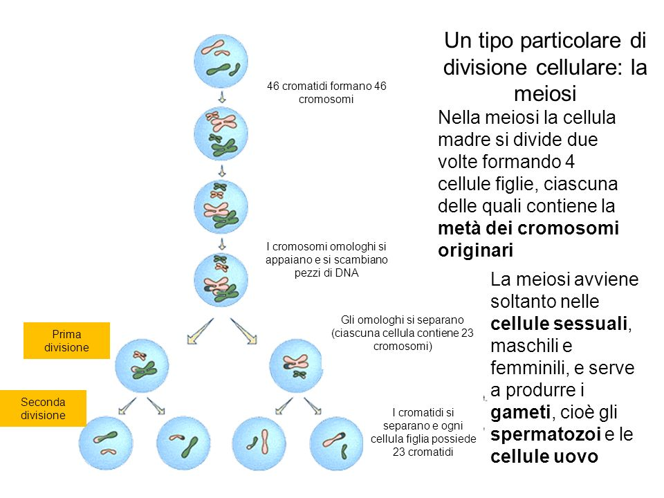 Un tipo particolare di divisione cellulare: la meiosi Nella meiosi la cellula madre si divide due volte formando 4 cellule figlie, ciascuna delle quali contiene la metà dei cromosomi originari La meiosi avviene soltanto nelle cellule sessuali, maschili e femminili, e serve a produrre i gameti, cioè gli spermatozoi e le cellule uovo 46 cromatidi formano 46 cromosomi I cromosomi omologhi si appaiano e si scambiano pezzi di DNA Prima divisione Seconda divisione Gli omologhi si separano (ciascuna cellula contiene 23 cromosomi) I cromatidi si separano e ogni cellula figlia possiede 23 cromatidi