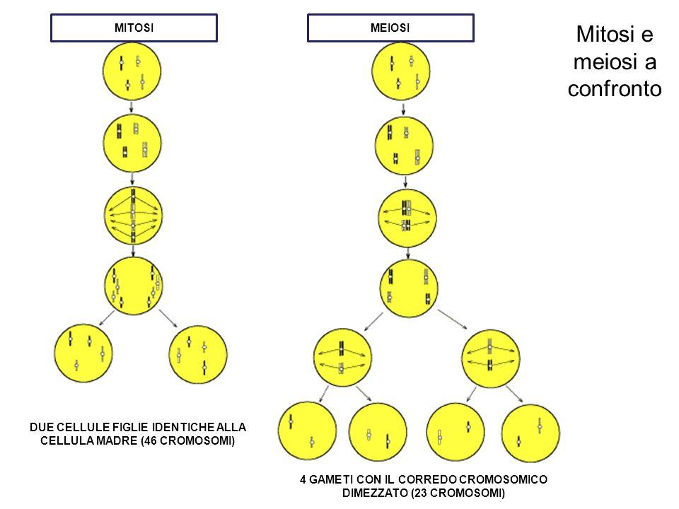 Mitosi e meiosi a confronto MITOSIMEIOSI DUE CELLULE FIGLIE IDENTICHE ALLA CELLULA MADRE (46 CROMOSOMI) 4 GAMETI CON IL CORREDO CROMOSOMICO DIMEZZATO (23 CROMOSOMI)