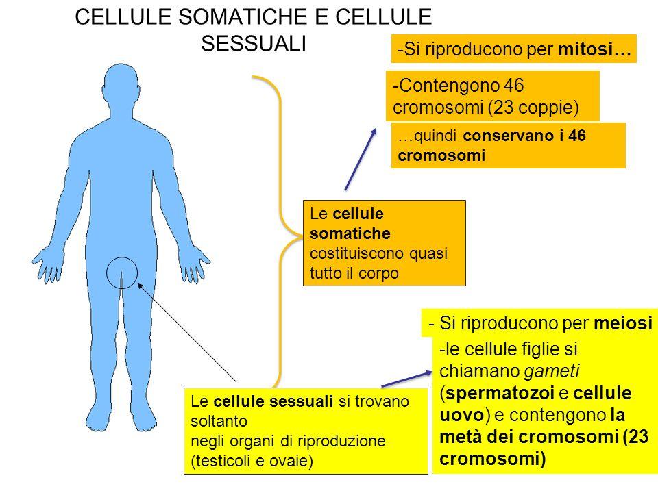 CELLULE SOMATICHE E CELLULE SESSUALI Le cellule somatiche costituiscono quasi tutto il corpo -Si riproducono per mitosi… -Contengono 46 cromosomi (23 coppie) …quindi conservano i 46 cromosomi - Si riproducono per meiosi -le cellule figlie si chiamano gameti (spermatozoi e cellule uovo) e contengono la metà dei cromosomi (23 cromosomi) Le cellule sessuali si trovano soltanto negli organi di riproduzione (testicoli e ovaie)