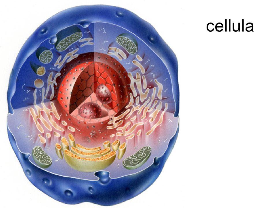 Nel nucleo della cellula: i cromosomi Citoplasma con organuli Membrana cellulare cromosomi Nucleo e membrana nucleare