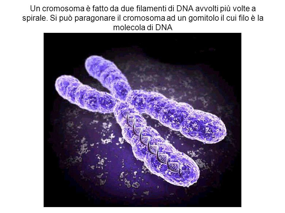 Un cromosoma è fatto da due filamenti di DNA avvolti più volte a spirale. Si può paragonare il cromosoma ad un gomitolo il cui filo è la molecola di D