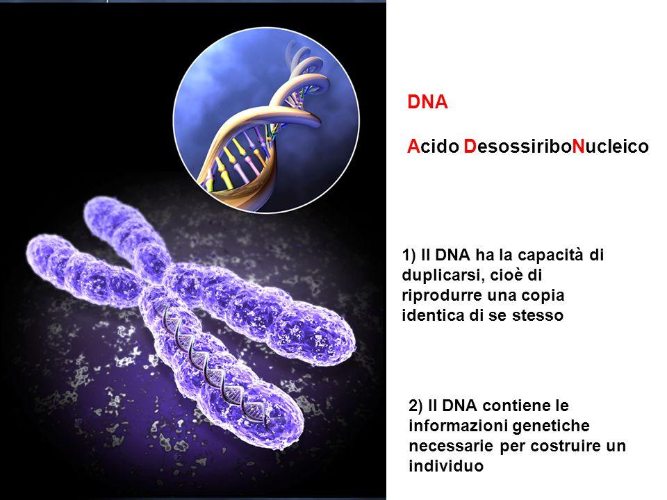 DNA Acido DesossiriboNucleico 1) Il DNA ha la capacità di duplicarsi, cioè di riprodurre una copia identica di se stesso 2) Il DNA contiene le informazioni genetiche necessarie per costruire un individuo