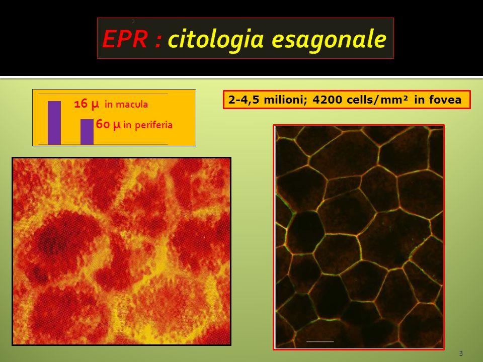 2 3 2-4,5 milioni; 4200 cells/mm² in fovea