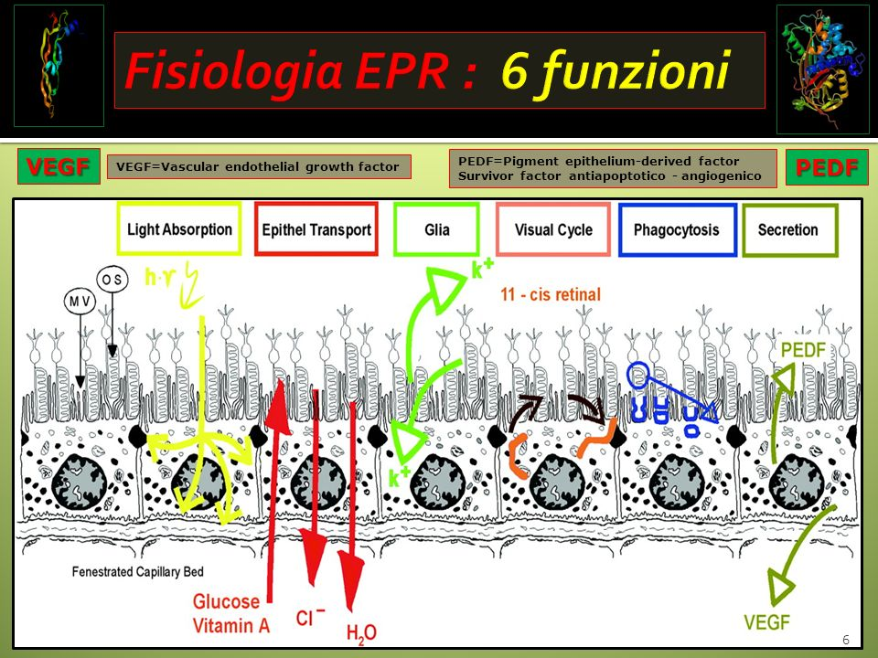 6 VEGF=Vascular endothelial growth factor PEDF=Pigment epithelium-derived factor Survivor factor antiapoptotico - angiogenicoPEDF VEGF