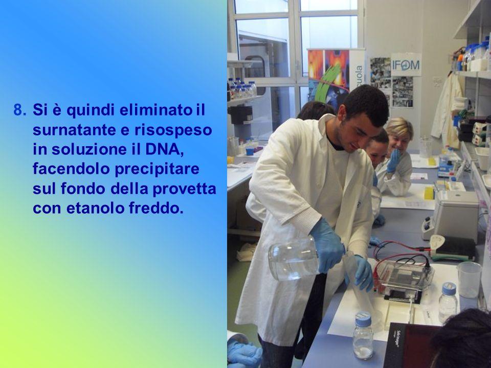 8.Si è quindi eliminato il surnatante e risospeso in soluzione il DNA, facendolo precipitare sul fondo della provetta con etanolo freddo.