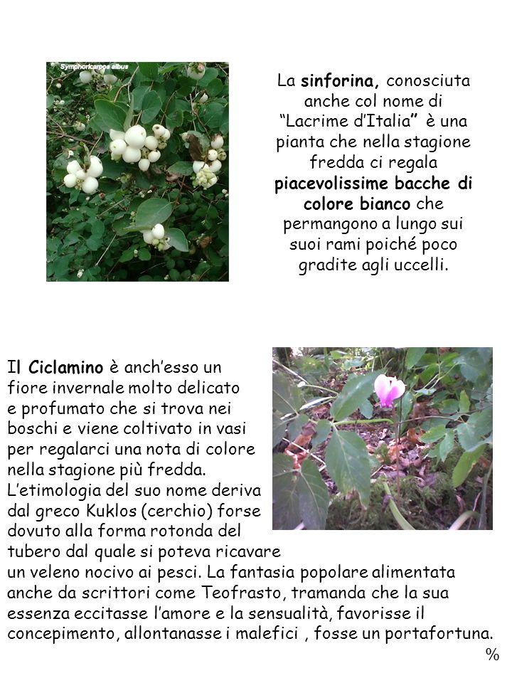 Il Ciclamino è anchesso un fiore invernale molto delicato e profumato che si trova nei boschi e viene coltivato in vasi per regalarci una nota di colore nella stagione più fredda.