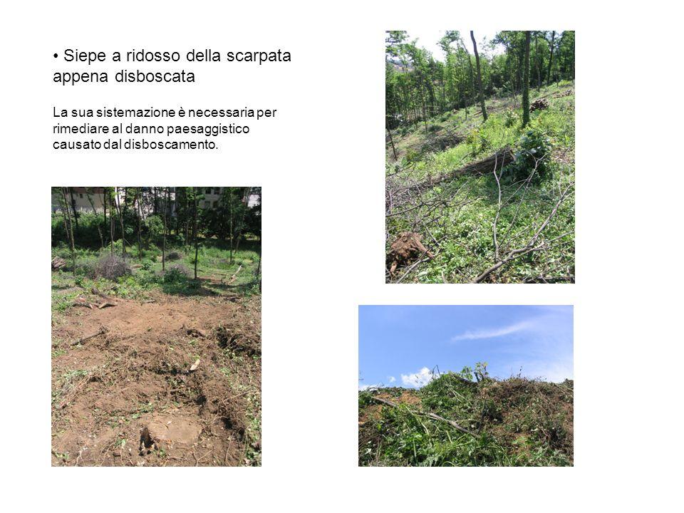 Siepe a ridosso della scarpata appena disboscata La sua sistemazione è necessaria per rimediare al danno paesaggistico causato dal disboscamento.