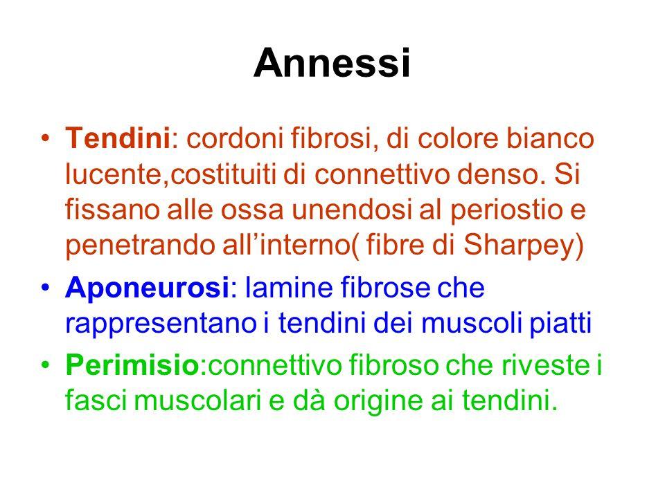 Annessi Tendini: cordoni fibrosi, di colore bianco lucente,costituiti di connettivo denso. Si fissano alle ossa unendosi al periostio e penetrando all