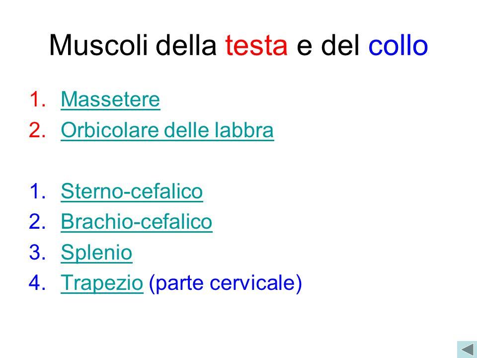 Muscoli della testa e del collo 1.MassetereMassetere 2.Orbicolare delle labbraOrbicolare delle labbra 1.Sterno-cefalicoSterno-cefalico 2.Brachio-cefal