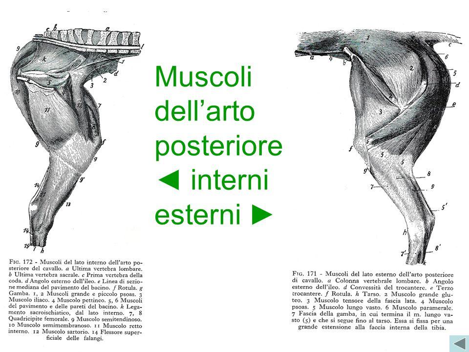 Muscoli dellarto posteriore interni esterni
