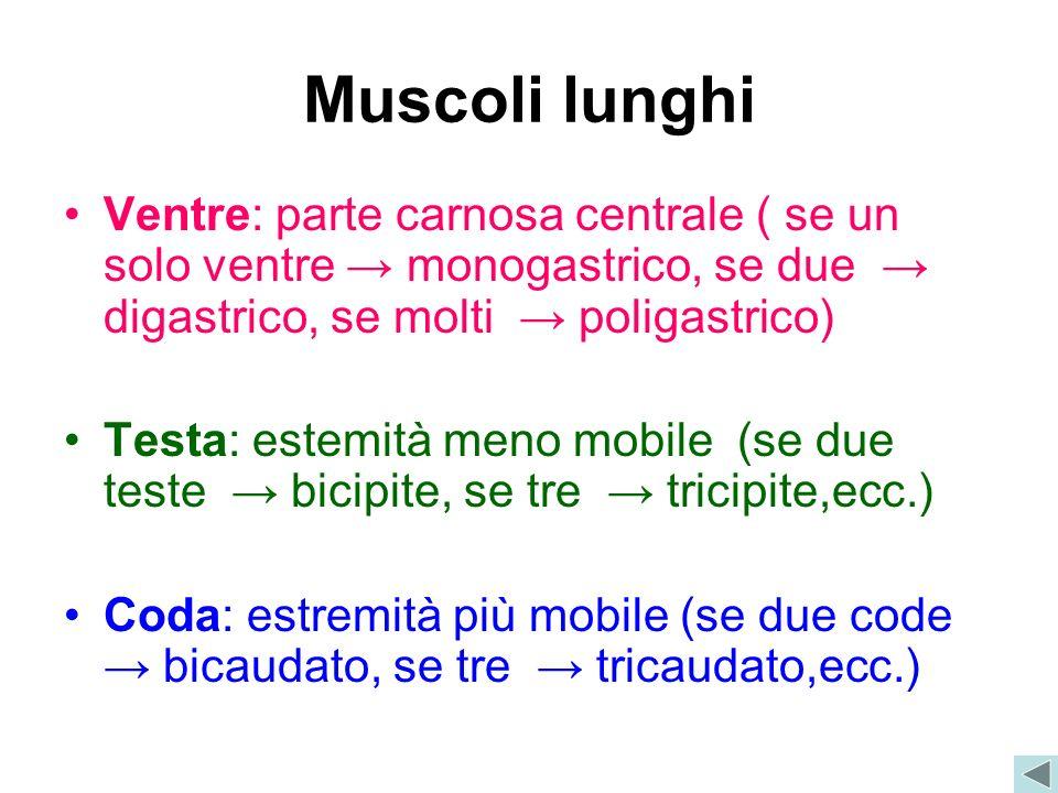 Muscoli lunghi Ventre: parte carnosa centrale ( se un solo ventre monogastrico, se due digastrico, se molti poligastrico) Testa: estemità meno mobile