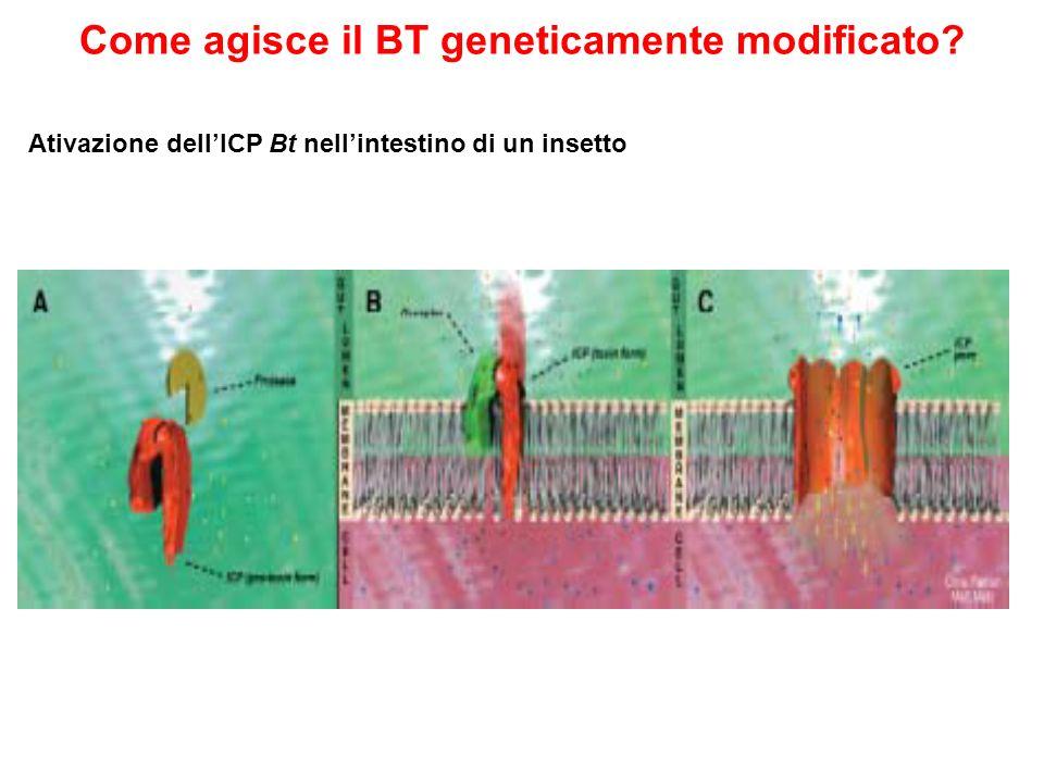 Come agisce il BT geneticamente modificato? Ativazione dellICP Bt nellintestino di un insetto