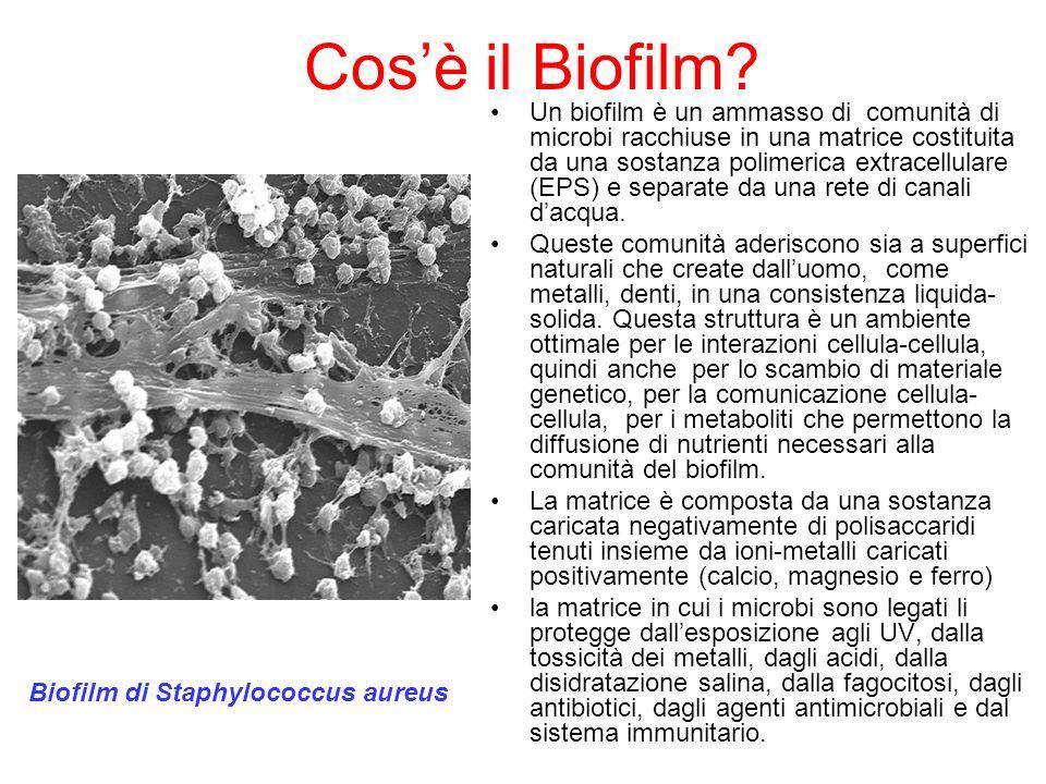 Come si forma il biofilm.