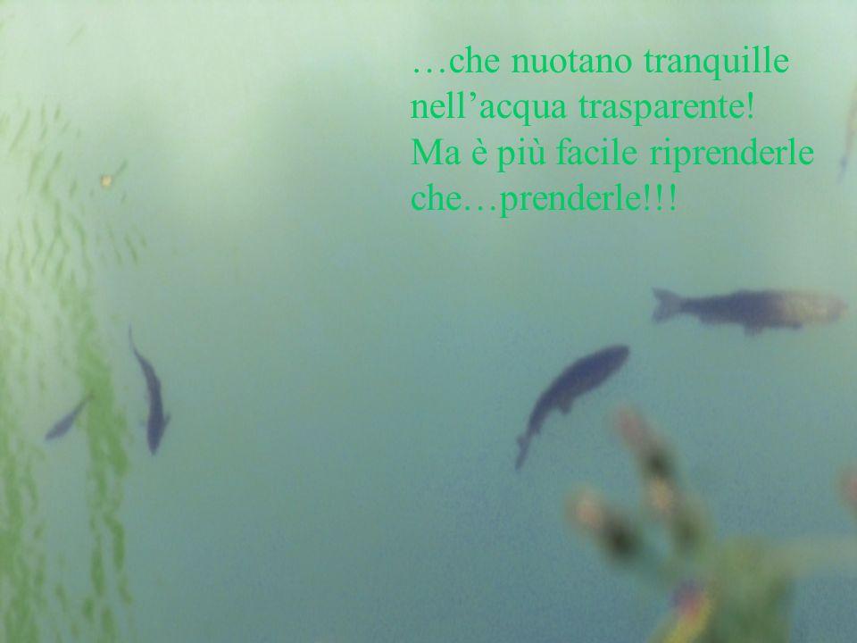 …che nuotano tranquille nellacqua trasparente! Ma è più facile riprenderle che…prenderle!!!