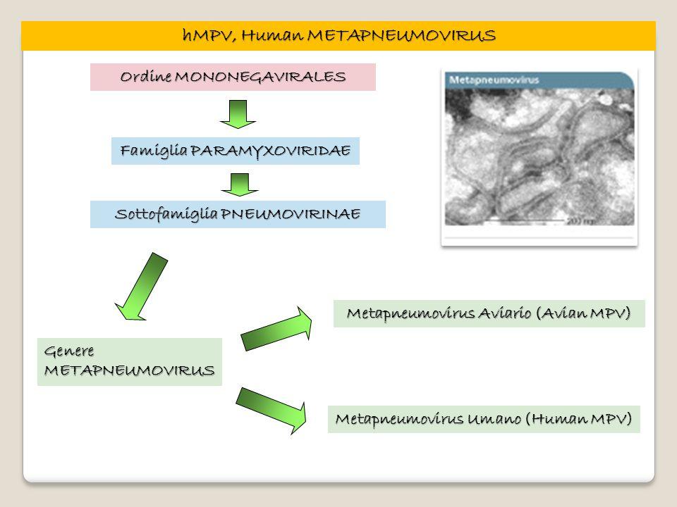 hMPV, Human METAPNEUMOVIRUS Ordine MONONEGAVIRALES Famiglia PARAMYXOVIRIDAE Genere METAPNEUMOVIRUS Metapneumovirus Aviario (Avian MPV) Metapneumovirus