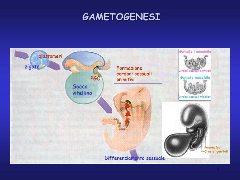 GAMETOGENESI XXXY Abbozzo ovarico con follicoliTesticoli con cordoni spermatici OvogoniSpermatogoni PROLIFERAZIONE OvocitiSpermatozoi 4