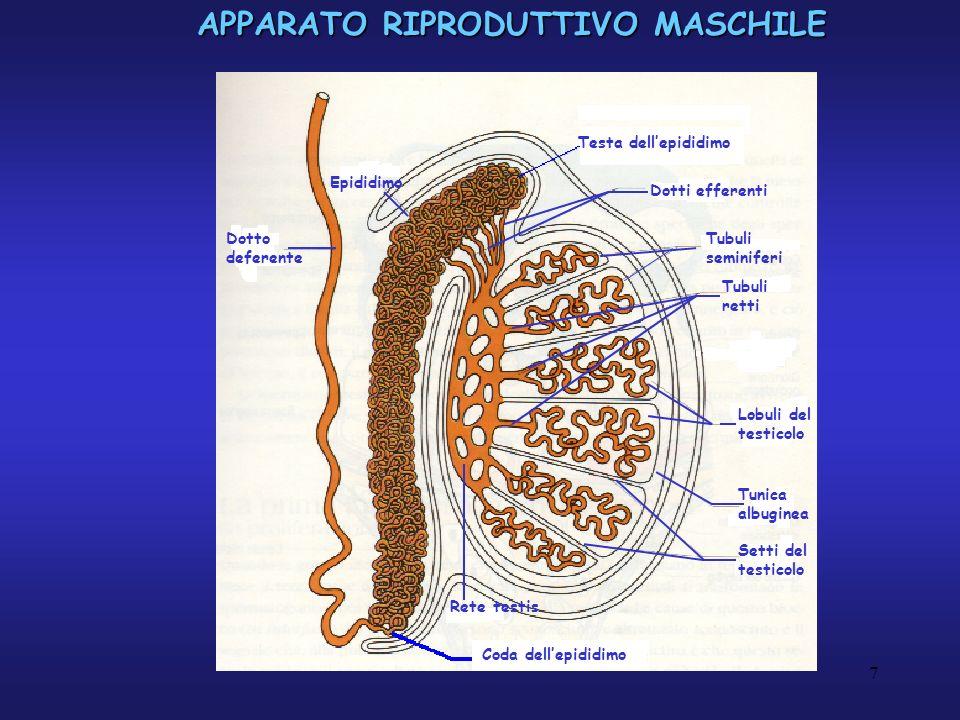 APPARATO RIPRODUTTIVO MASCHILE Tubulo seminifero E formato da un epitelio seminifero costituito da 2 categorie di cellule: Epitelio seminifero - cellule di sostegno Cellula di Sertoli Lamina basale Cellule mioidi Compartimento interstiziale Cellule di Leydig - cellule germinali Cellule germinali spermatogonio spermatozoo spermatide spermatocito 8