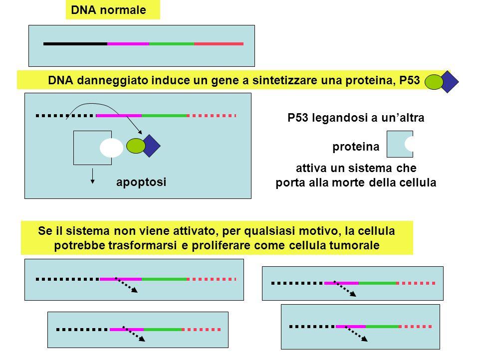 DNA danneggiato non incontra il gene per sintetizzare la proteina, P53 Una cellula tumorale può presentare una mutazione che impedisce la sintesi di P53 Proliferazione tumorale