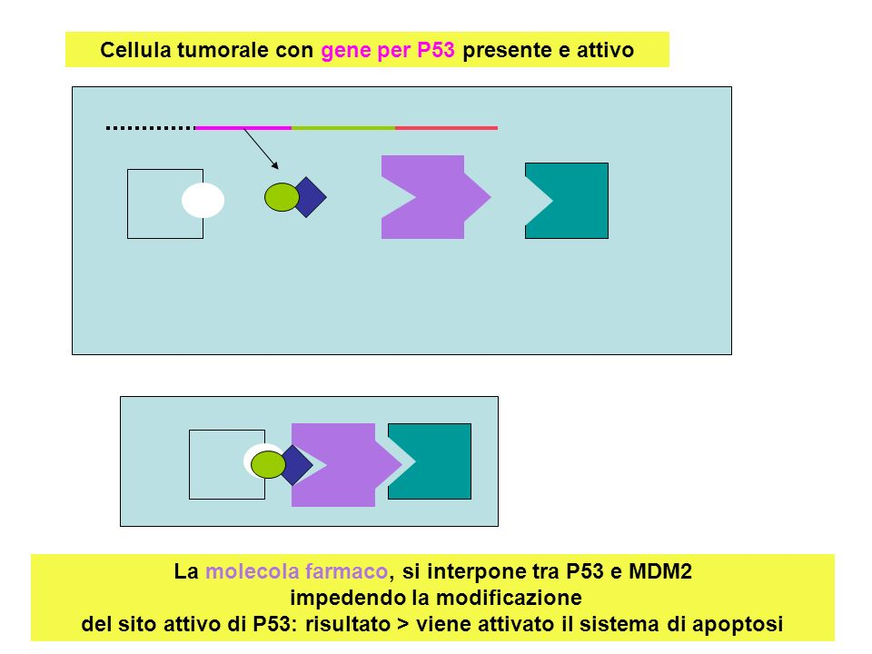 Cellula tumorale con gene per P53 presente e attivo La molecola farmaco, si interpone tra P53 e MDM2 impedendo la modificazione del sito attivo di P53