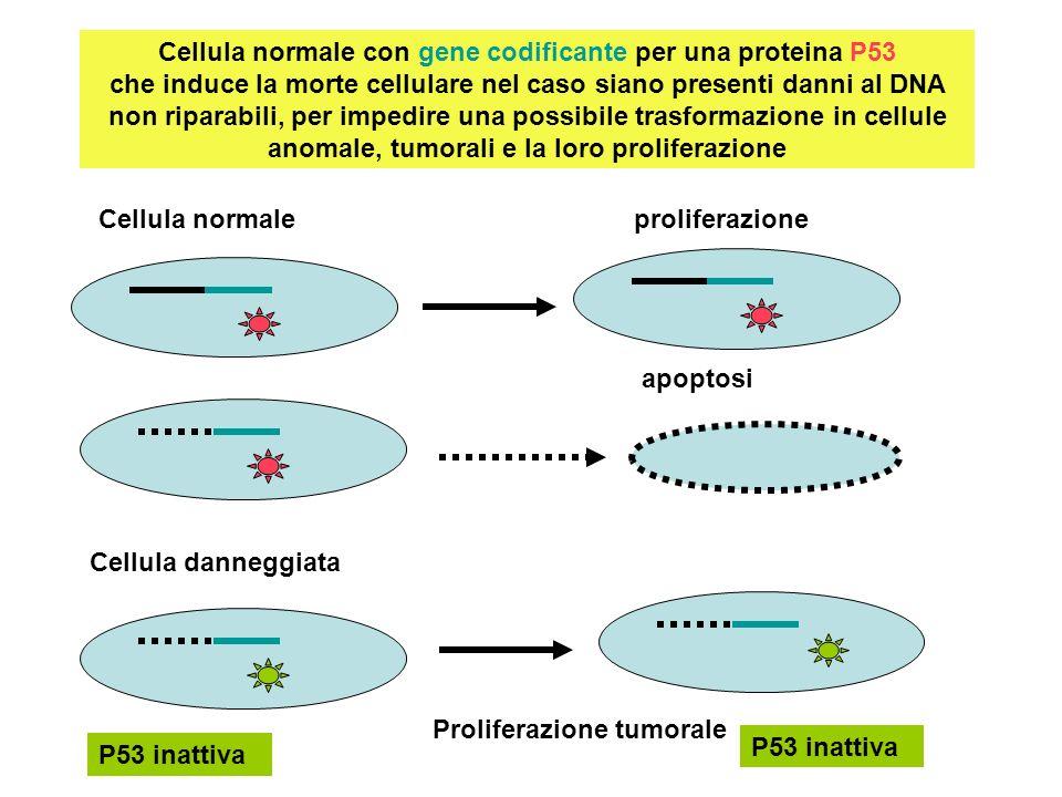 Cellula normale con gene codificante per una proteina P53 che induce la morte cellulare nel caso siano presenti danni al DNA non riparabili, per imped