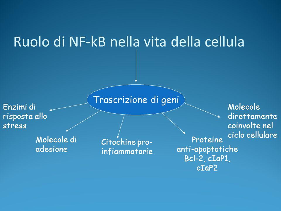 Ruolo di NF-kB nella vita della cellula Trascrizione di geni Enzimi di risposta allo stress Molecole di adesione Citochine pro- infiammatorie Proteine anti-apoptotiche Bcl-2, cIaP1, cIaP2 Molecole direttamente coinvolte nel ciclo cellulare