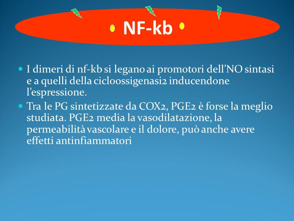 I dimeri di nf-kb si legano ai promotori dellNO sintasi e a quelli della cicloossigenasi2 inducendone lespressione. Tra le PG sintetizzate da COX2, PG