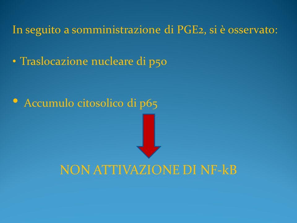 In seguito a somministrazione di PGE2, si è osservato: Traslocazione nucleare di p50 Accumulo citosolico di p65 NON ATTIVAZIONE DI NF-kB