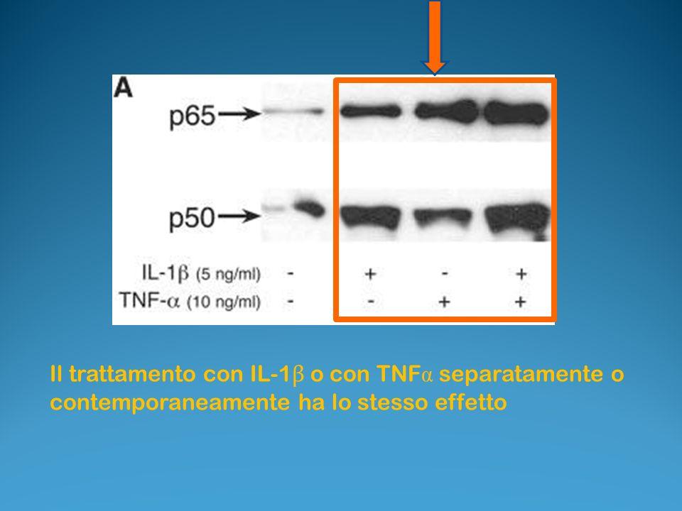 Il trattamento con IL-1 β o con TNF α separatamente o contemporaneamente ha lo stesso effetto