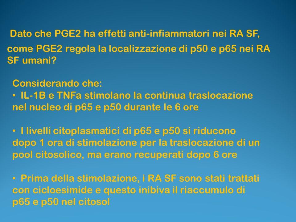 Dato che PGE2 ha effetti anti-infiammatori nei RA SF, come PGE2 regola la localizzazione di p50 e p65 nei RA SF umani? Considerando che: IL-1B e TNFa