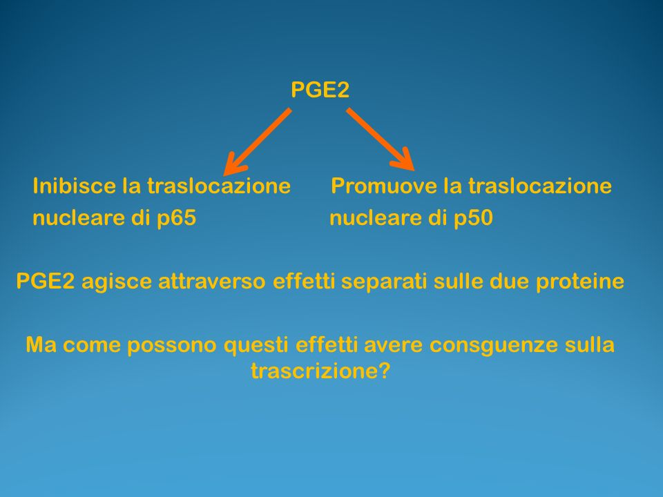 PGE2 Inibisce la traslocazione Promuove la traslocazione nucleare di p65 nucleare di p50 PGE2 agisce attraverso effetti separati sulle due proteine Ma come possono questi effetti avere consguenze sulla trascrizione?