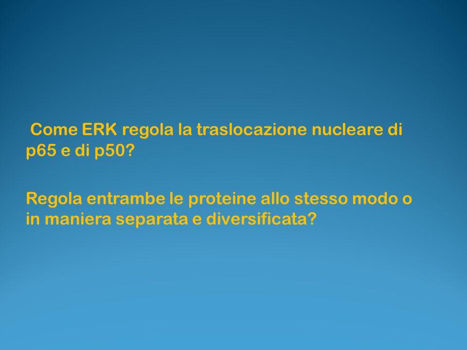 Come ERK regola la traslocazione nucleare di p65 e di p50.