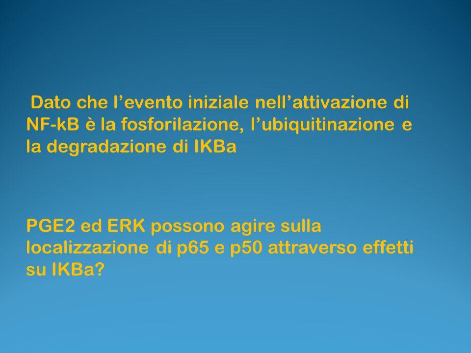 Dato che levento iniziale nellattivazione di NF-kB è la fosforilazione, lubiquitinazione e la degradazione di IKBa PGE2 ed ERK possono agire sulla loc