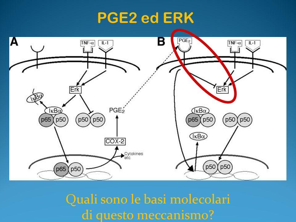 PGE2 ed ERK Quali sono le basi molecolari di questo meccanismo?