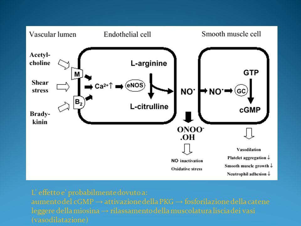 L effetto e probabilmente dovuto a: aumento del cGMP attivazione della PKG fosforilazione della catene leggere della miosina rilassamento della muscolatura liscia dei vasi (vasodilatazione)