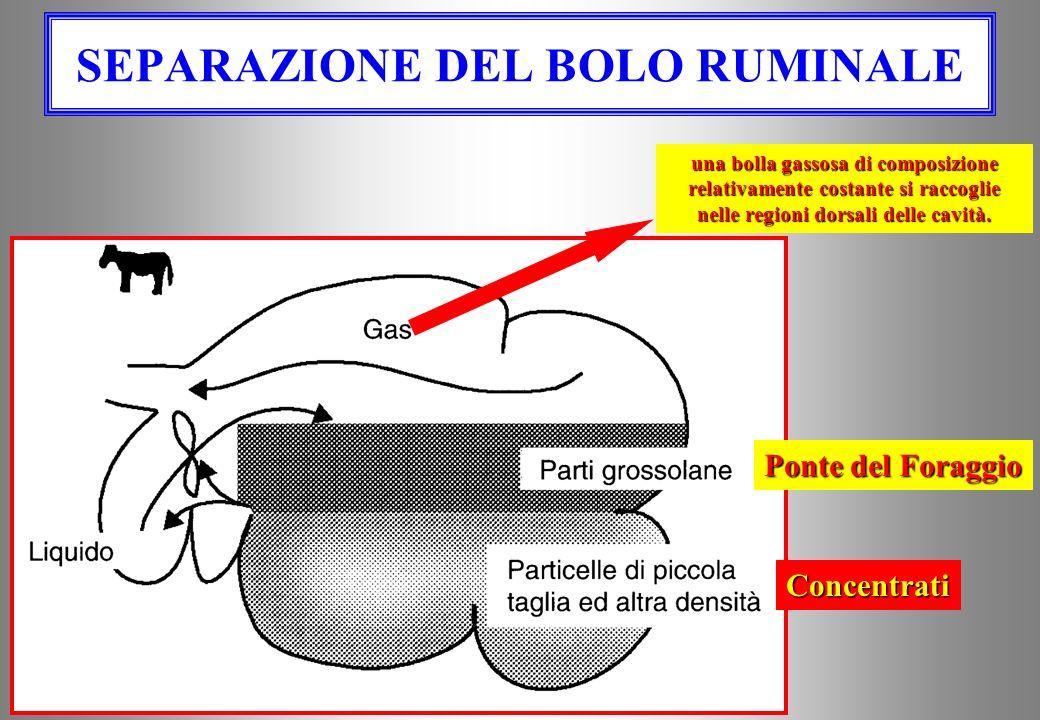 Tratto gastrico dei ruminanti Esofago R e t i c o l o Rumine Omaso A b o m as o Duo deno intestinointestino