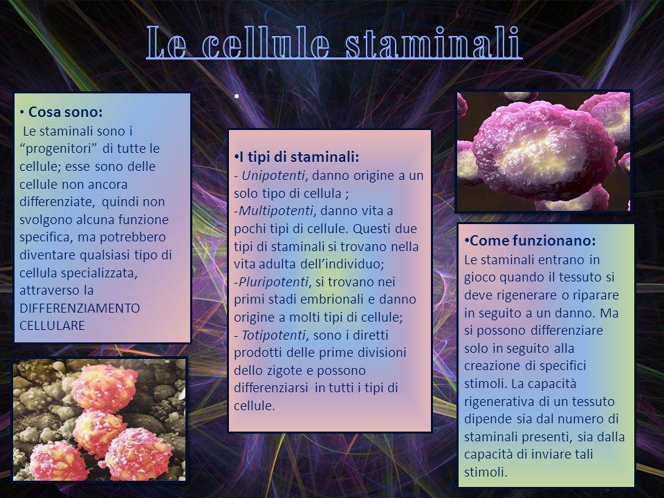 Cosa sono: Le staminali sono i progenitori di tutte le cellule; esse sono delle cellule non ancora differenziate, quindi non svolgono alcuna funzione specifica, ma potrebbero diventare qualsiasi tipo di cellula specializzata, attraverso la DIFFERENZIAMENTO CELLULARE I tipi di staminali: - Unipotenti, danno origine a un solo tipo di cellula ; -Multipotenti, danno vita a pochi tipi di cellule.