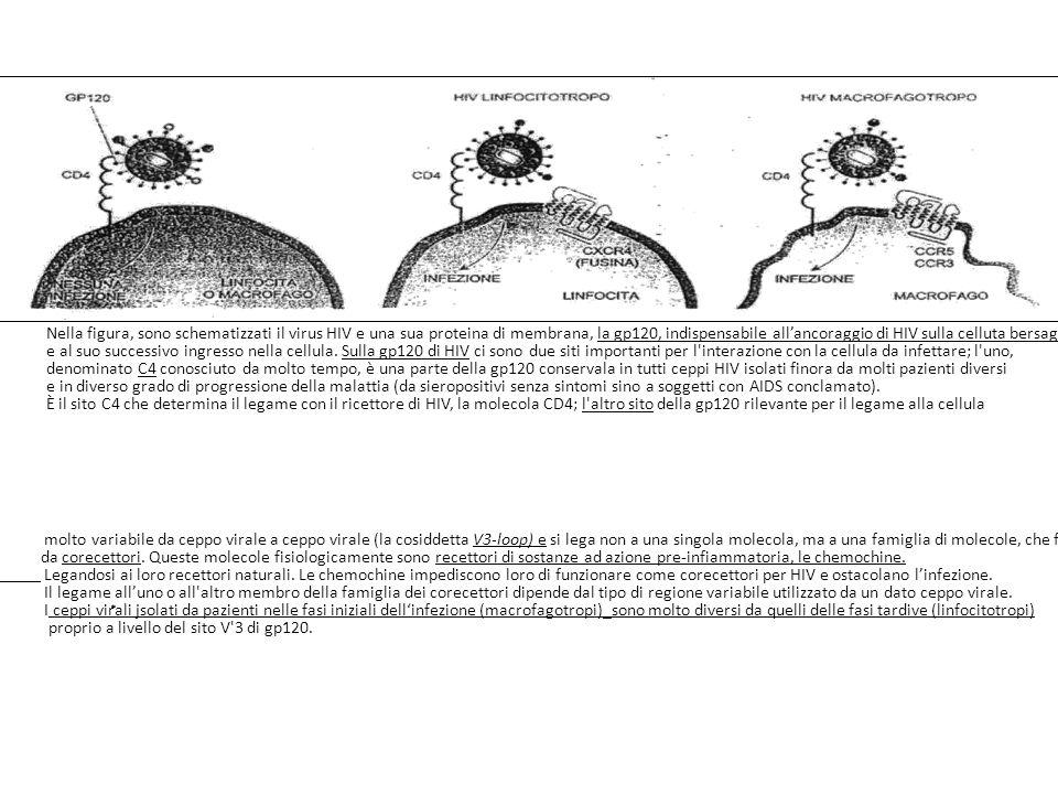 Nella figura, sono schematizzati il virus HIV e una sua proteina di membrana, la gp120, indispensabile allancoraggio di HIV sulla celluta bersaglio e al suo successivo ingresso nella cellula.