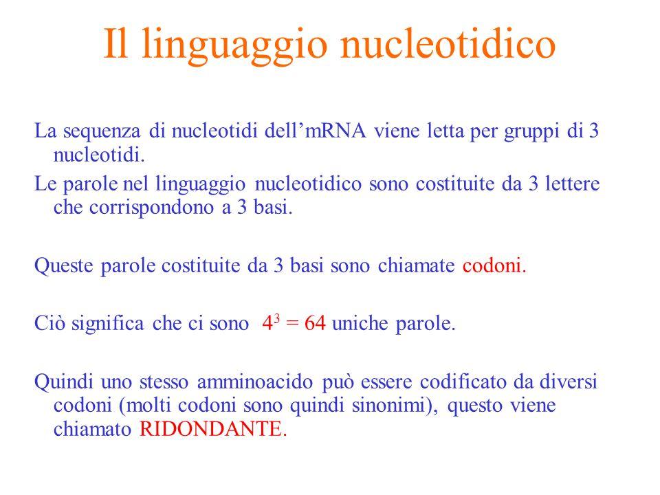 Il linguaggio nucleotidico La sequenza di nucleotidi dellmRNA viene letta per gruppi di 3 nucleotidi. Le parole nel linguaggio nucleotidico sono costi