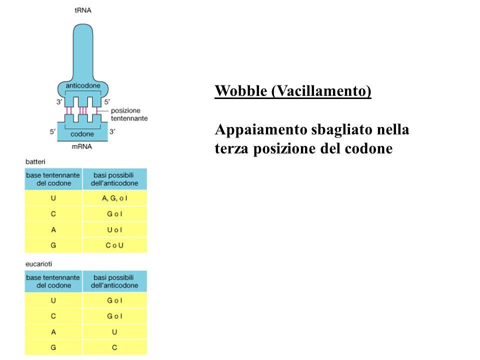 Wobble (Vacillamento) Appaiamento sbagliato nella terza posizione del codone