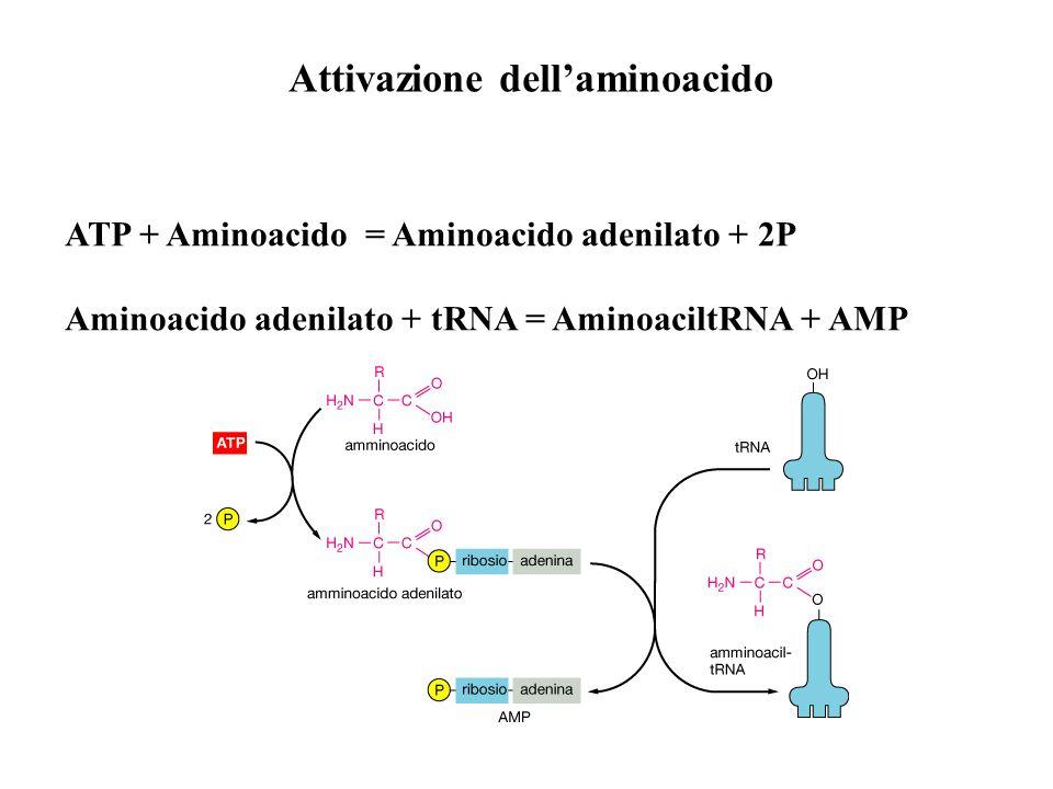 Attivazione dellaminoacido ATP + Aminoacido = Aminoacido adenilato + 2P Aminoacido adenilato + tRNA = AminoaciltRNA + AMP