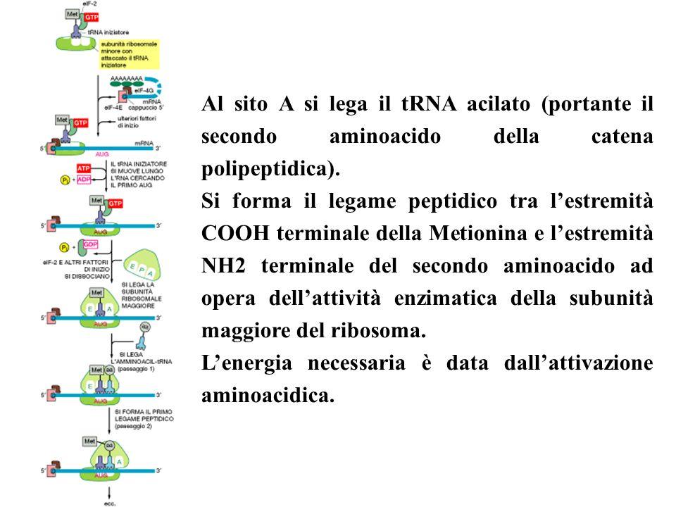Al sito A si lega il tRNA acilato (portante il secondo aminoacido della catena polipeptidica). Si forma il legame peptidico tra lestremità COOH termin