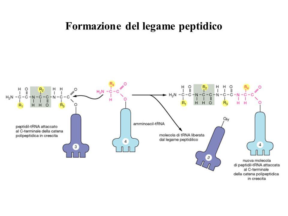 Formazione del legame peptidico