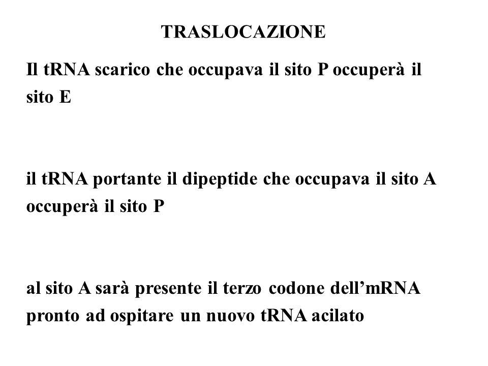 Il tRNA scarico che occupava il sito P occuperà il sito E il tRNA portante il dipeptide che occupava il sito A occuperà il sito P al sito A sarà prese