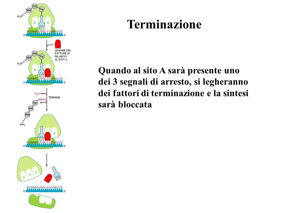 Terminazione Quando al sito A sarà presente uno dei 3 segnali di arresto, si legheranno dei fattori di terminazione e la sintesi sarà bloccata