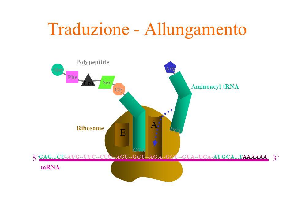 A E Ribosome P UCU Arg Aminoacyl tRNA Phe Leu Met Ser Gly Polypeptide CCA Traduzione - Allungamento GAG...CU-AUG--UUC--CUU--AGU--GGU--AGA--GCU--GUA--U